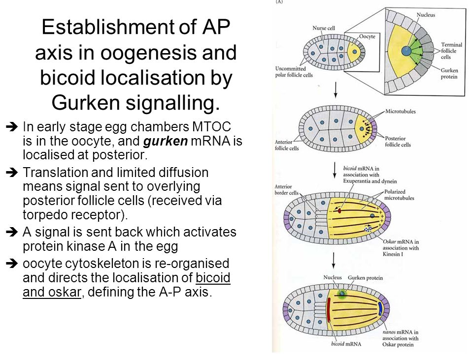 Establishment of AP axis in oogenesis and bicoid localisation by Gurken signalling.