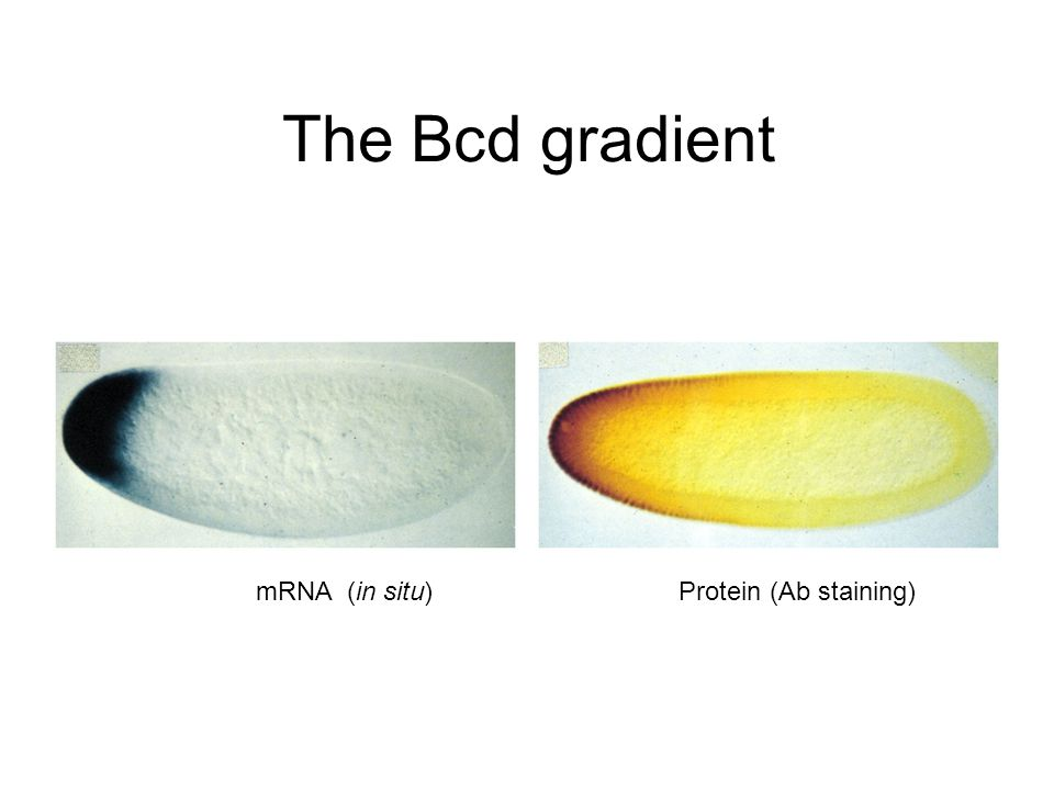 The Bcd gradient mRNA (in situ) Protein (Ab staining)