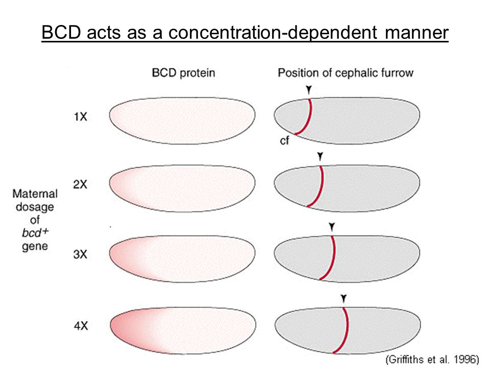 BCD acts as a concentration-dependent manner