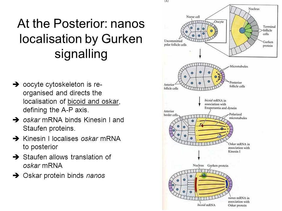 At the Posterior: nanos localisation by Gurken signalling