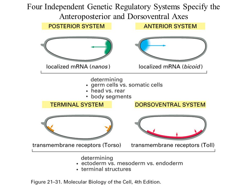 Four Independent Genetic Regulatory Systems Specify the Anteroposterior and Dorsoventral Axes