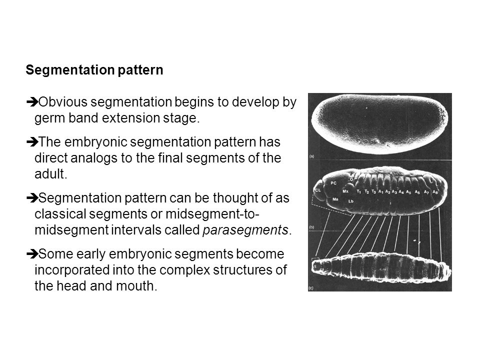Segmentation pattern Obvious segmentation begins to develop by germ band extension stage.