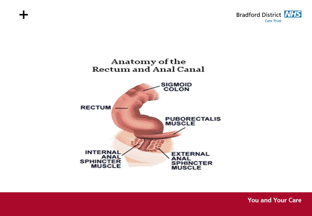 + The rectum is S Shaped and leads outwards through the anus. The rectum has the ability to distend in order to accommodate the faeces.