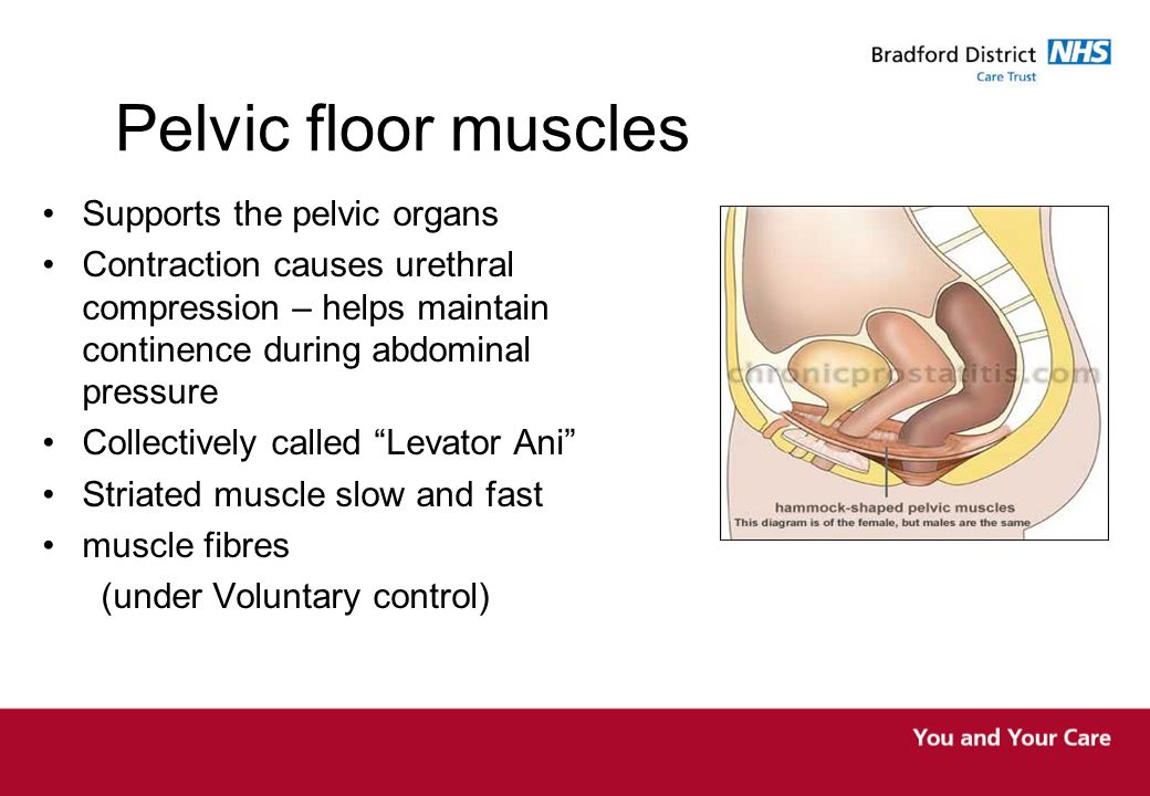 Pelvic floor muscles Supports the pelvic organs