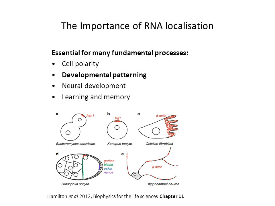 The Importance of RNA localisation
