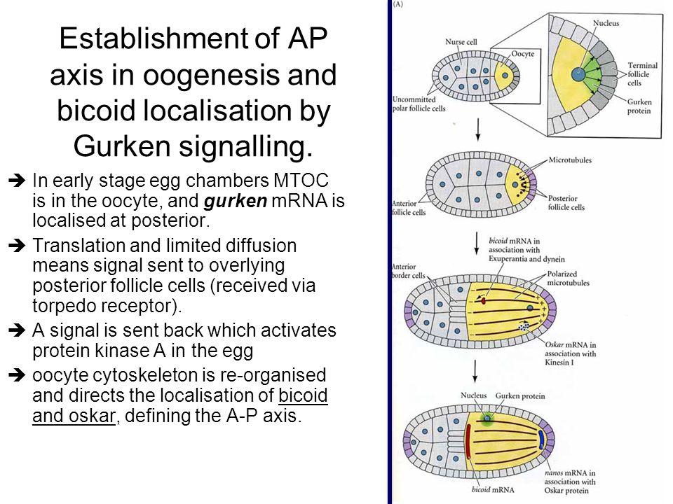 Establishment of AP axis in oogenesis and bicoid localisation by Gurken signalling.
