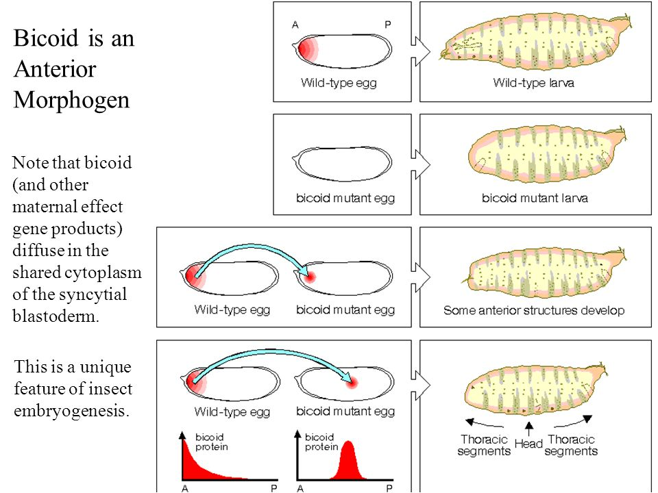 Bicoid is an Anterior Morphogen