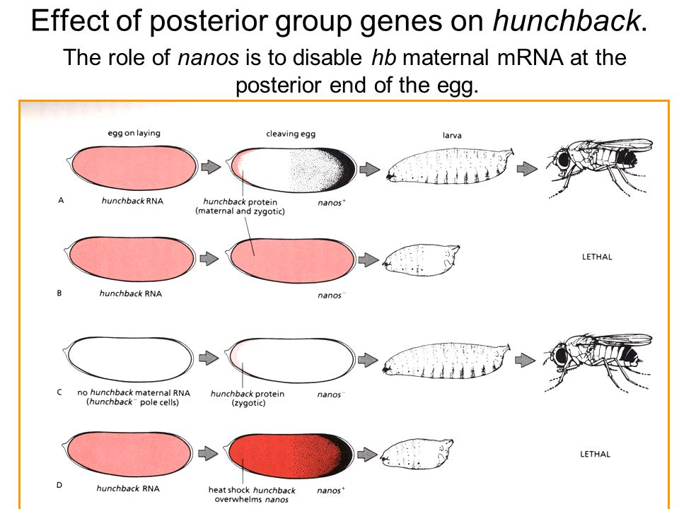 Effect of posterior group genes on hunchback.