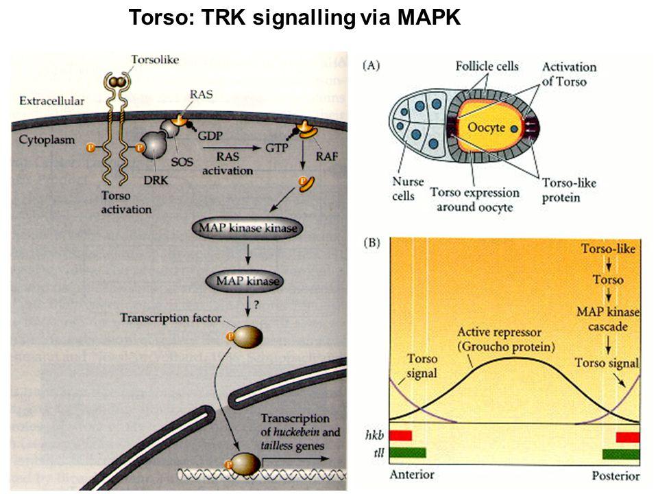 Torso: TRK signalling via MAPK