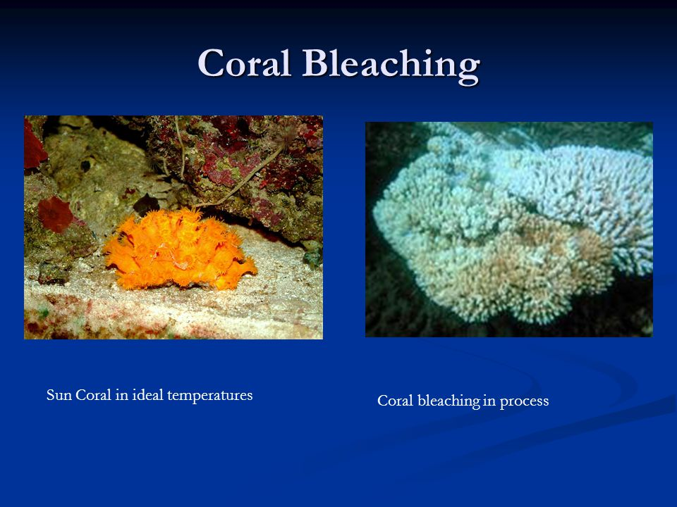 Coral Bleaching Sun Coral in ideal temperatures