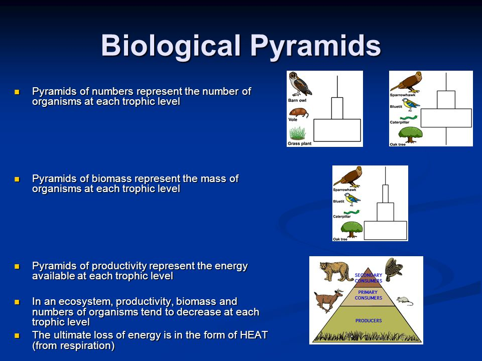 Biological Pyramids Pyramids of numbers represent the number of organisms at each trophic level.