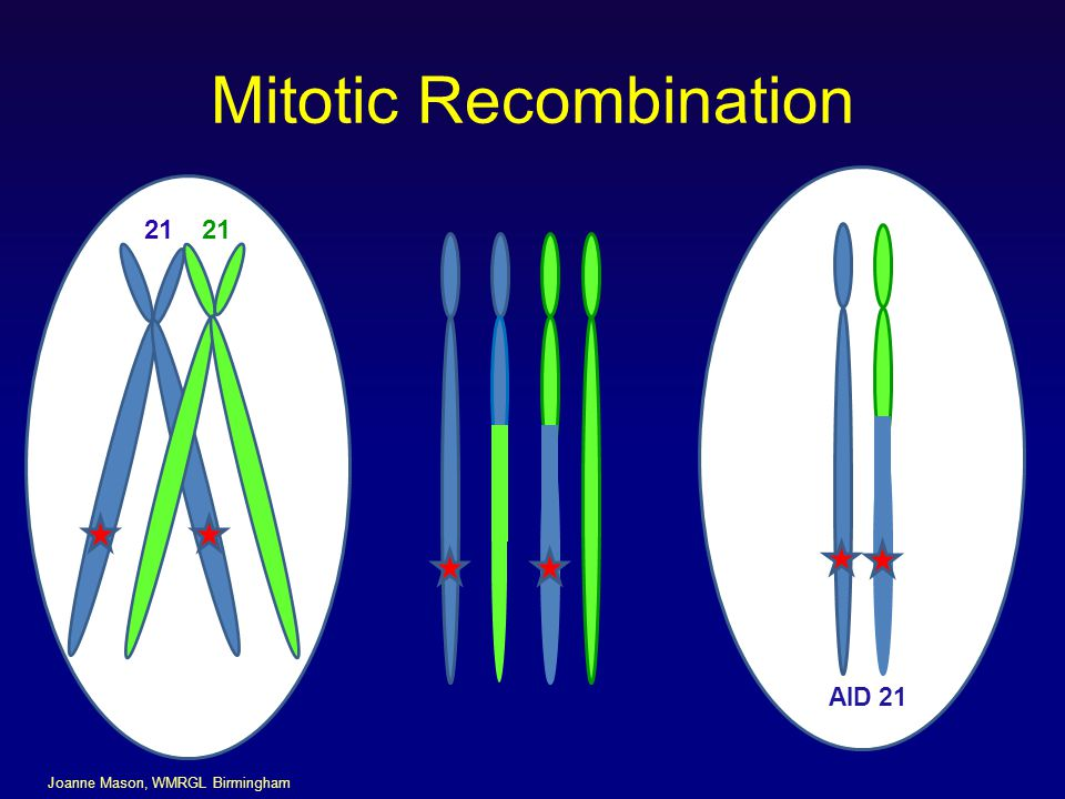 Mitotic Recombination