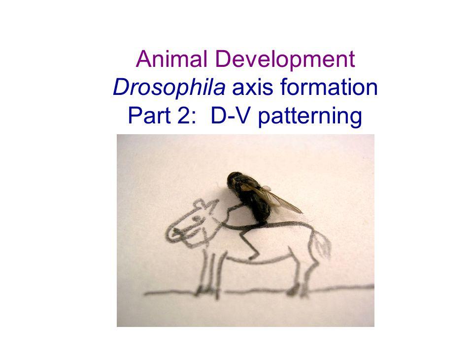 Animal Development Drosophila axis formation Part 2: D-V patterning