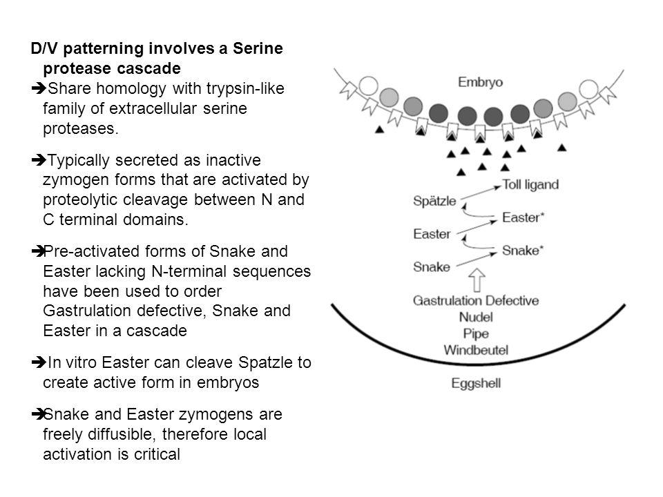 D/V patterning involves a Serine protease cascade