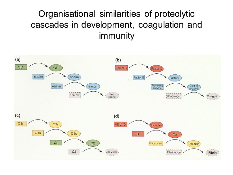Organisational similarities of proteolytic cascades in development, coagulation and immunity