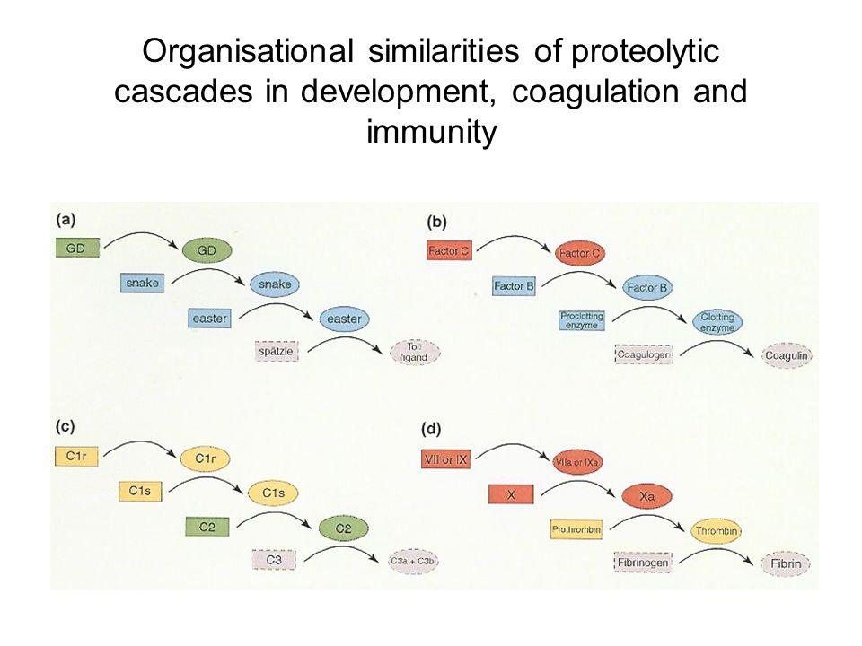 Organisational similarities of proteolytic cascades in development, coagulation and immunity