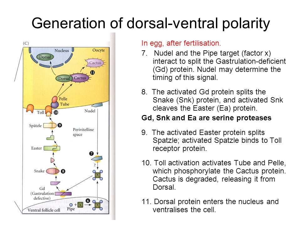 Generation of dorsal-ventral polarity