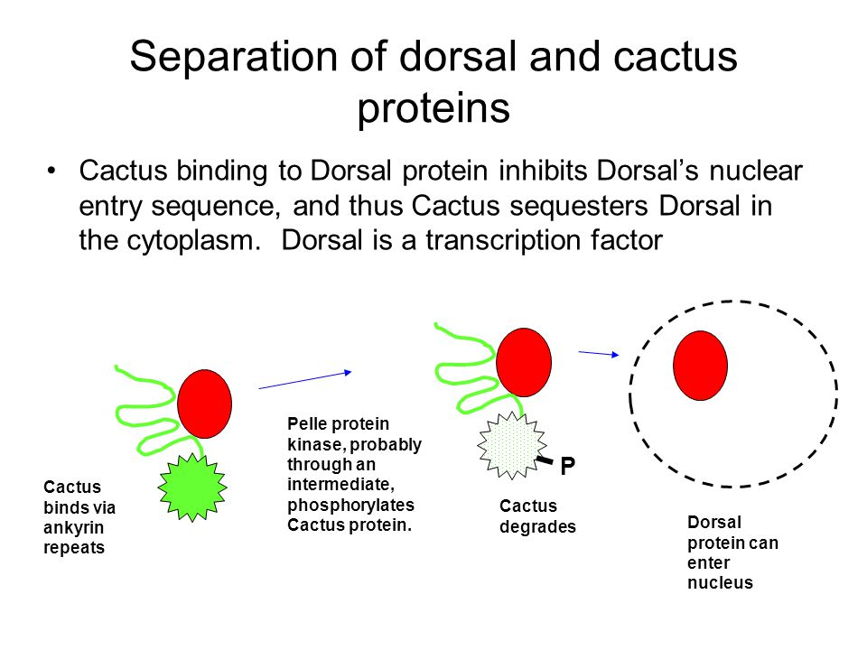 Separation of dorsal and cactus proteins