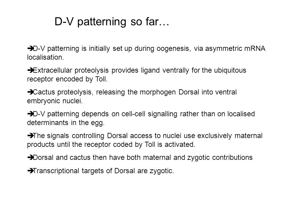 D-V patterning so far… D-V patterning is initially set up during oogenesis, via asymmetric mRNA localisation.