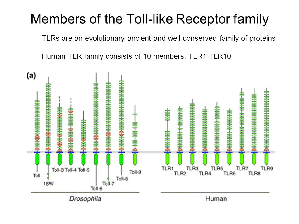 Members of the Toll-like Receptor family