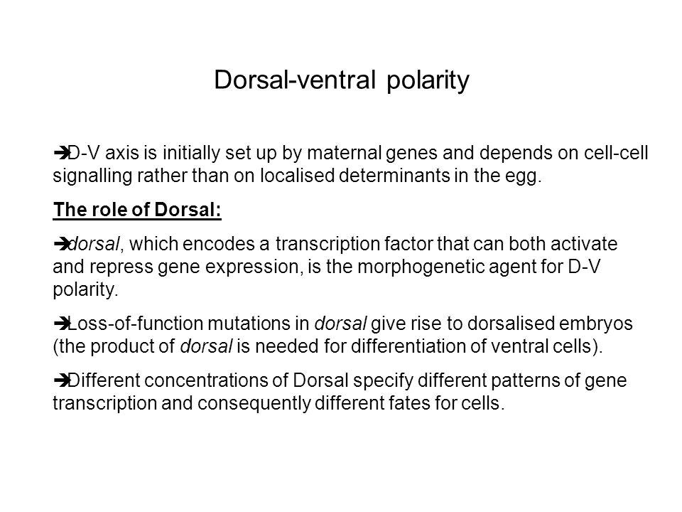 Dorsal-ventral polarity