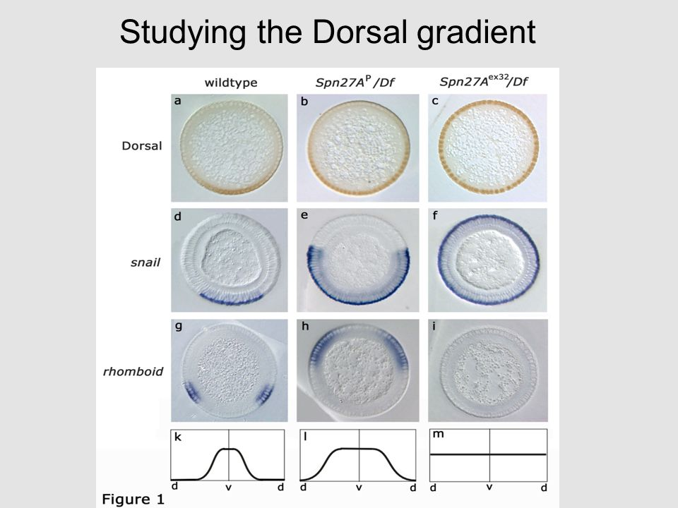 Studying the Dorsal gradient