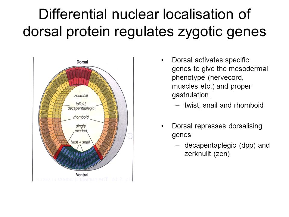 Differential nuclear localisation of dorsal protein regulates zygotic genes