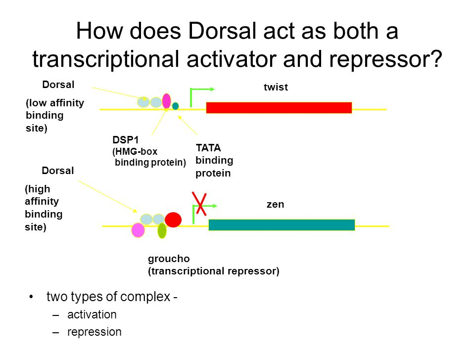How does Dorsal act as both a transcriptional activator and repressor