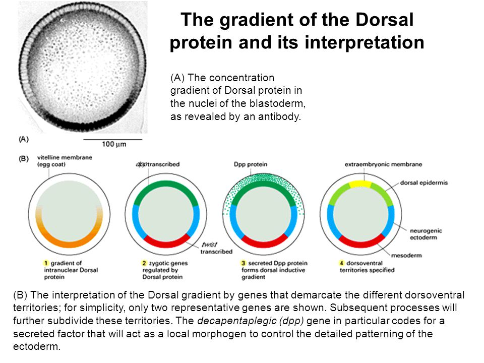 The gradient of the Dorsal protein and its interpretation