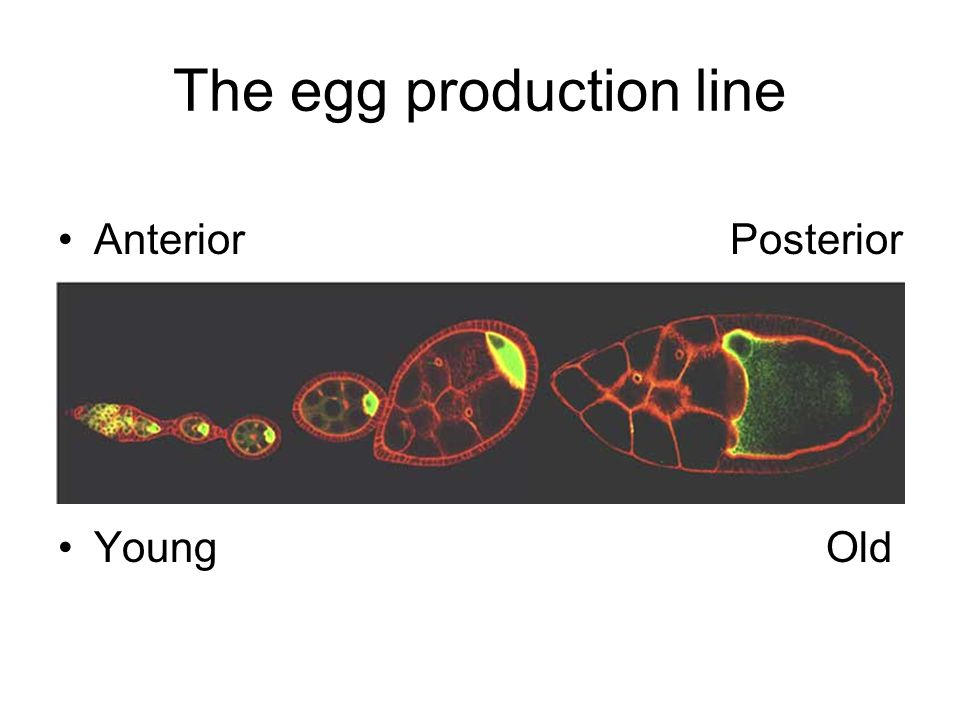 The egg production line