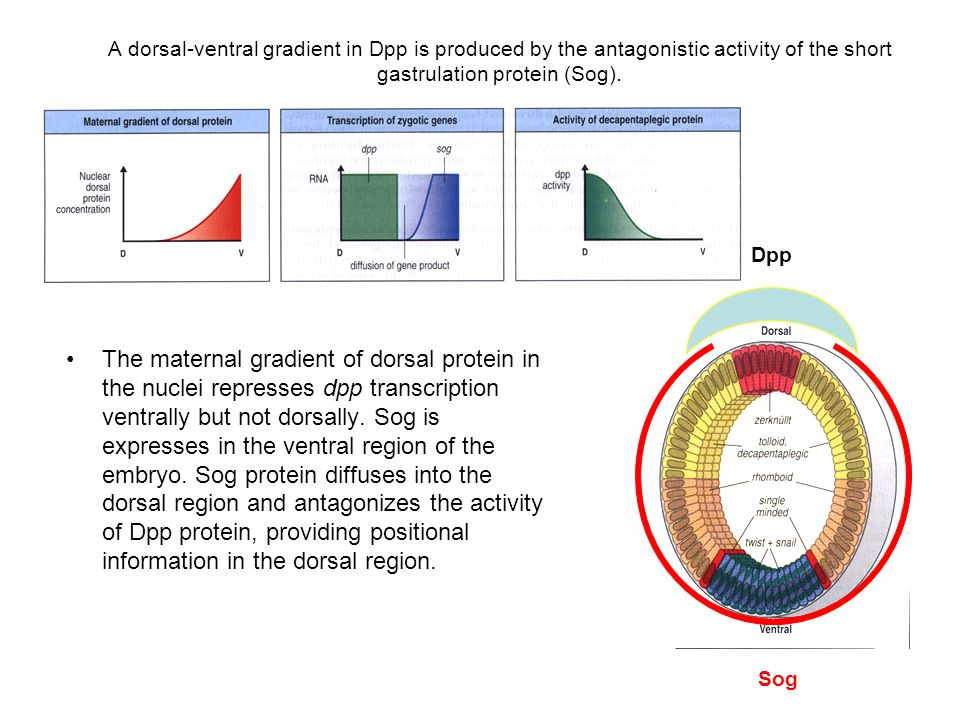 A dorsal-ventral gradient in Dpp is produced by the antagonistic activity of the short gastrulation protein (Sog).
