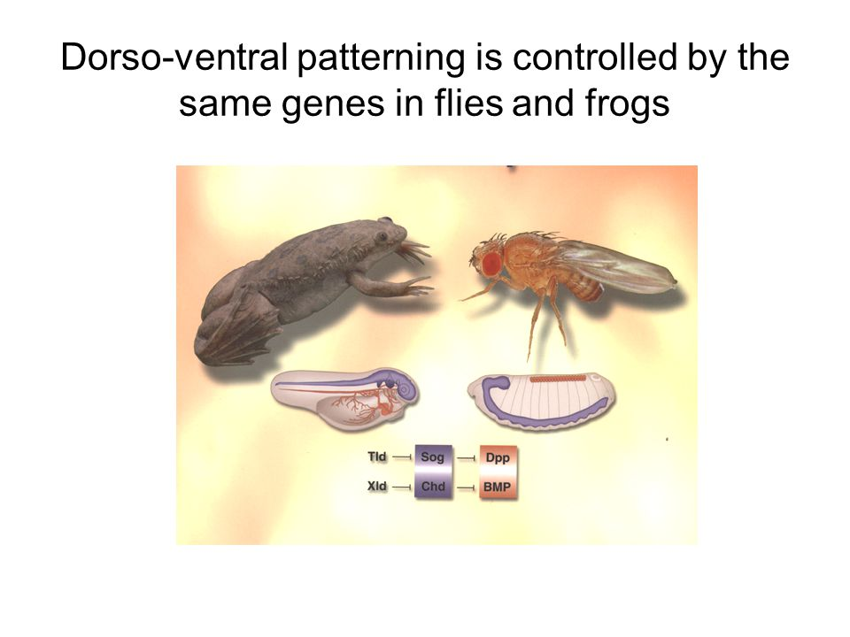 Dorso-ventral patterning is controlled by the same genes in flies and frogs