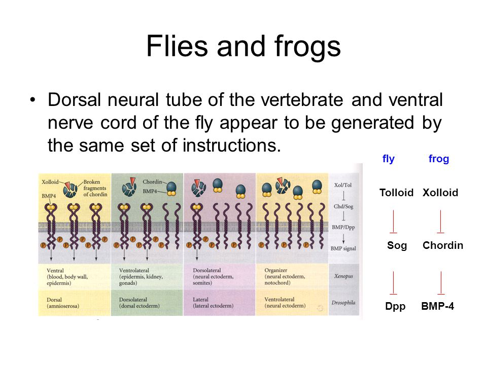 Flies and frogs Dorsal neural tube of the vertebrate and ventral nerve cord of the fly appear to be generated by the same set of instructions.