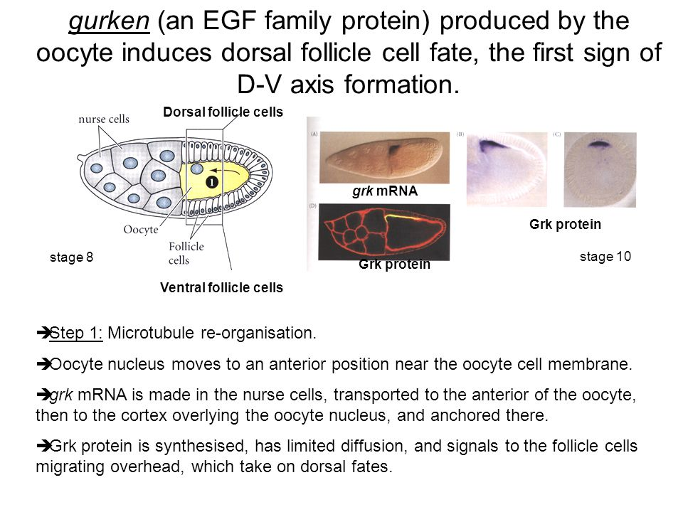 gurken (an EGF family protein) produced by the oocyte induces dorsal follicle cell fate, the first sign of D-V axis formation.