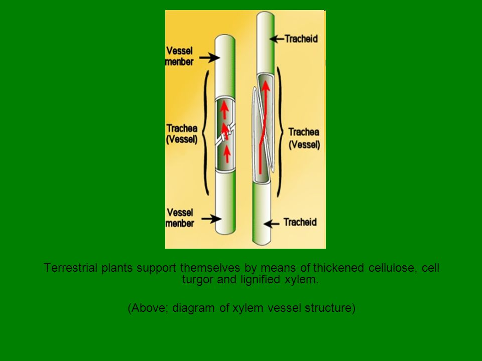 (Above; diagram of xylem vessel structure)