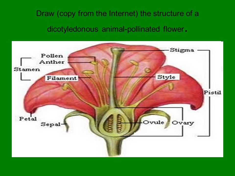Draw (copy from the Internet) the structure of a dicotyledonous animal-pollinated flower.