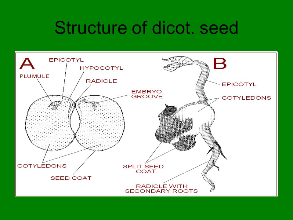 Structure of dicot. seed