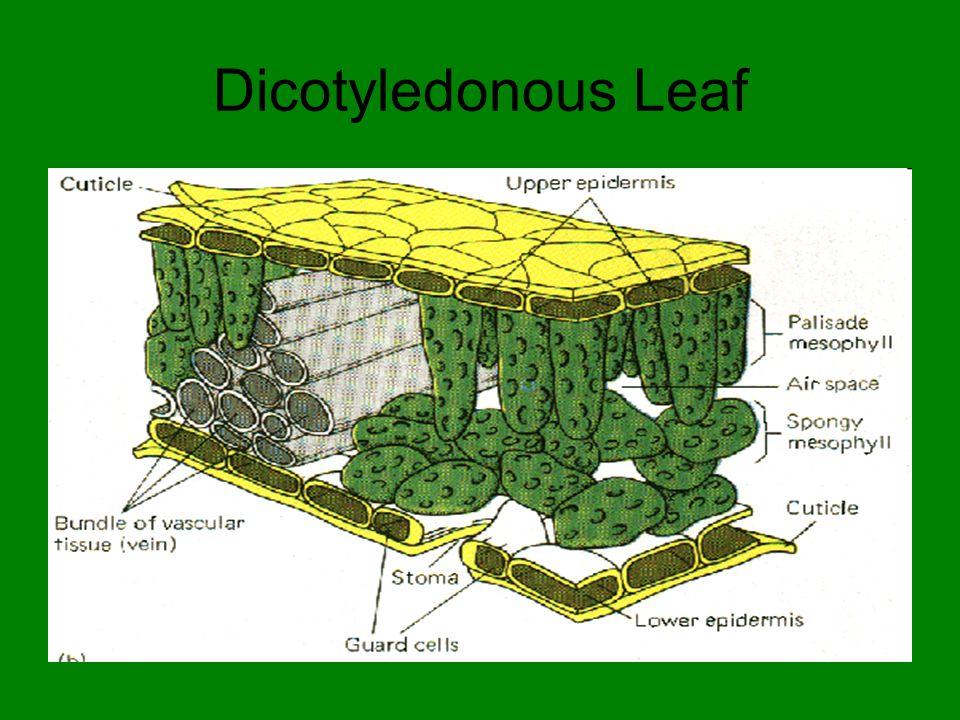Dicotyledonous Leaf
