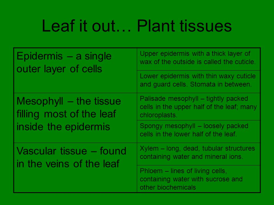 Leaf it out… Plant tissues