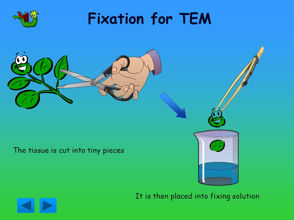 Fixation for TEM It is then placed into fixing solution