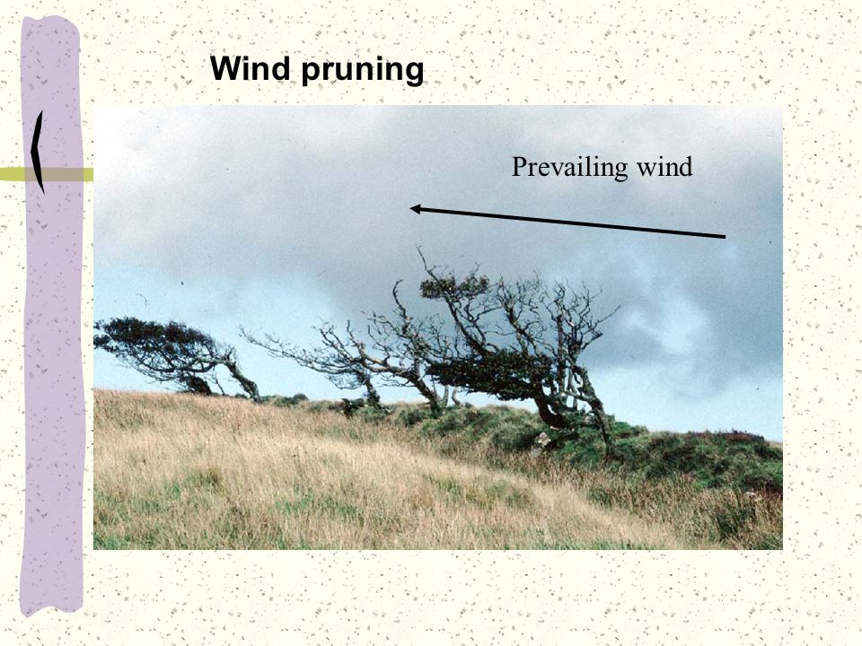 Wind pruning Prevailing wind