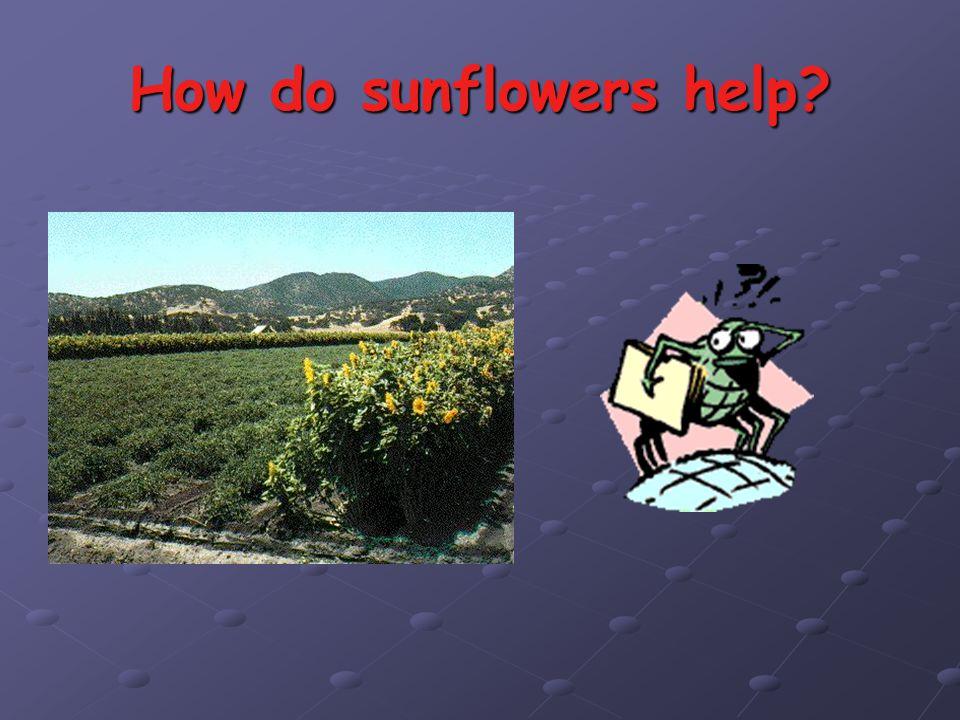How do sunflowers help