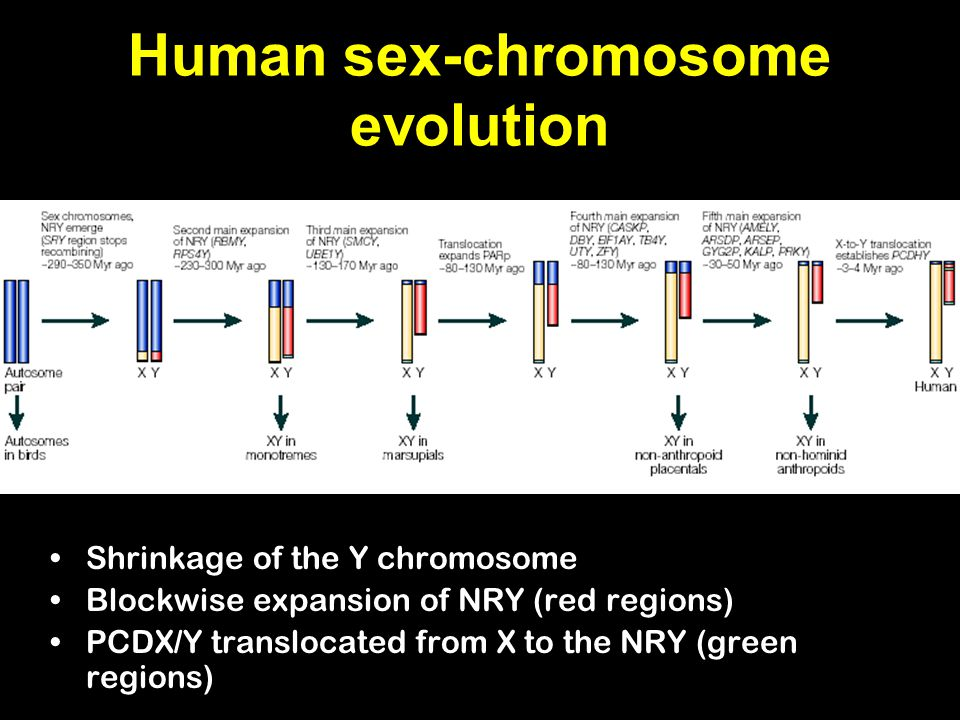 Human sex-chromosome evolution