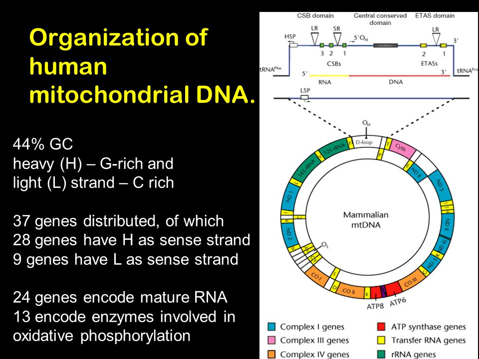 Organization of human mitochondrial DNA.