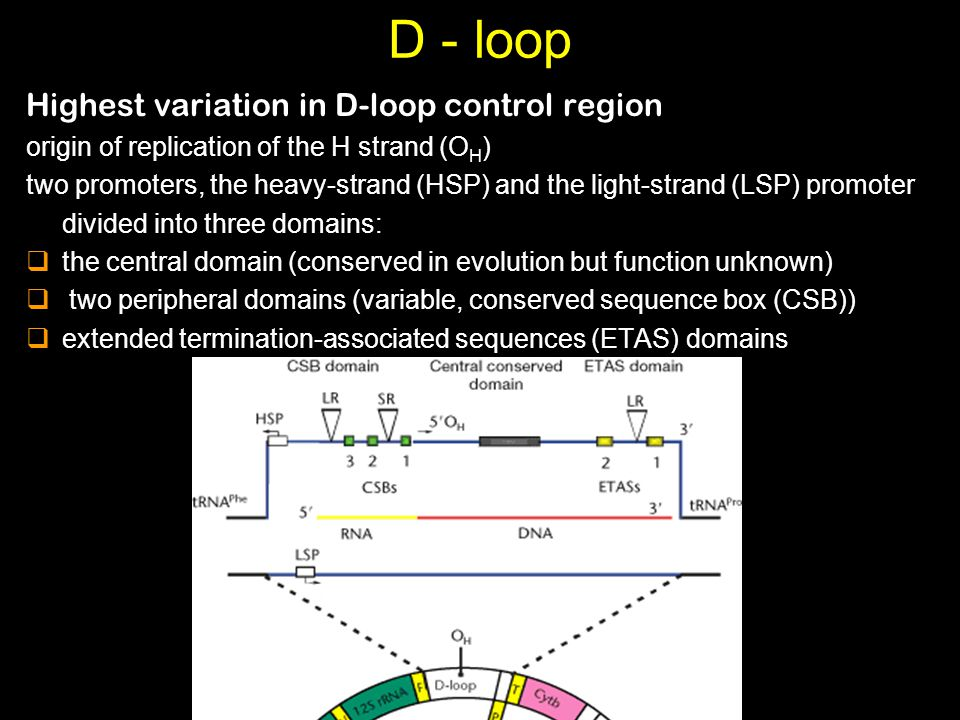 D - loop Highest variation in D-loop control region