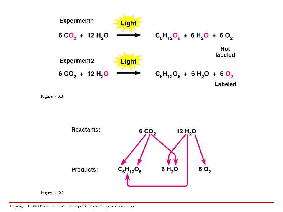 Experiment 1 Not labeled Experiment 2 Labeled Reactants: Products: