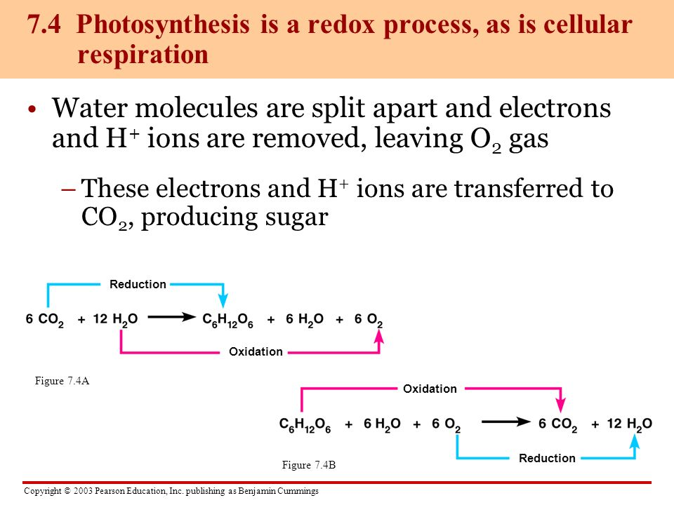 7.4 Photosynthesis is a redox process, as is cellular respiration