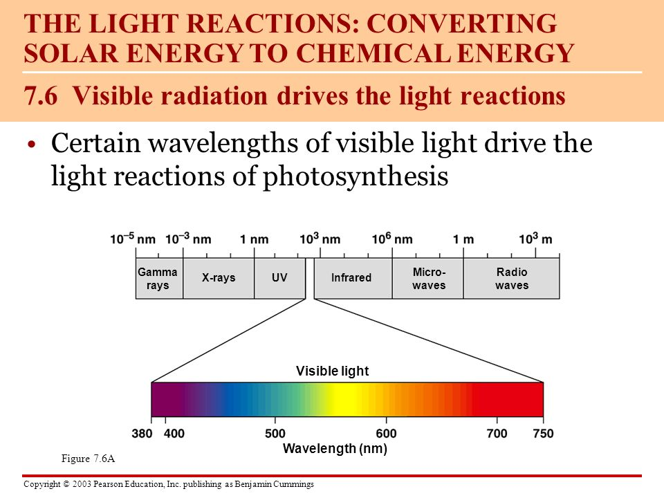 7.6 Visible radiation drives the light reactions