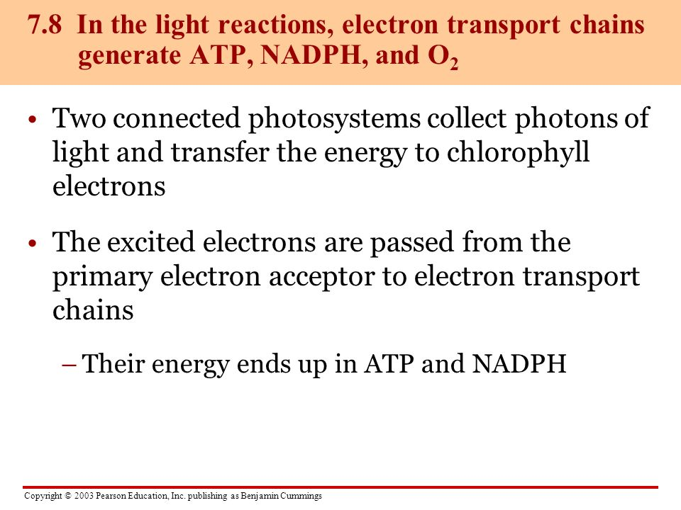 7.8 In the light reactions, electron transport chains generate ATP, NADPH, and O2