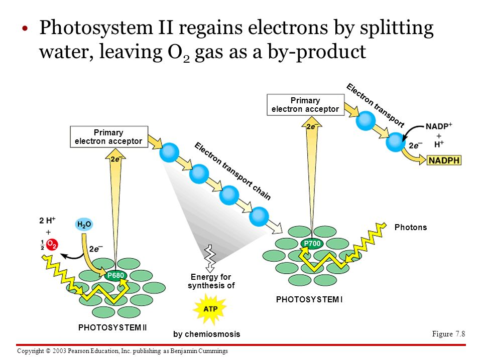 Photosystem II regains electrons by splitting water, leaving O2 gas as a by-product